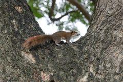 Eekhoorn het dierlijke spelen op boom in openbaar park Royalty-vrije Stock Foto's