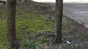 Eekhoorn het graven in gazon rond yard die voedsel zoeken stock video