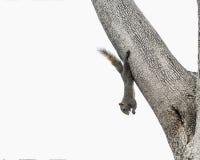 Eekhoorn het hangen op boomboomstam en het eten van noot Royalty-vrije Stock Fotografie