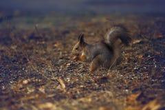 Eekhoorn het knagen aan Stock Fotografie