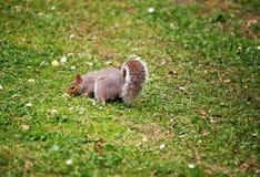 Eekhoorn in het park in Cardiff Wales Royalty-vrije Stock Fotografie