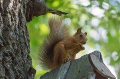 Eekhoorn in het park op de boom Stock Foto's