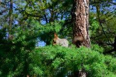 Eekhoorn in het park op zonnige de lentedag Stock Foto