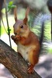 Eekhoorn in het park op zonnige de lentedag Stock Foto's