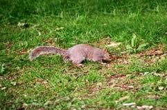 Eekhoorn in het park van Cardiff Wales Royalty-vrije Stock Fotografie