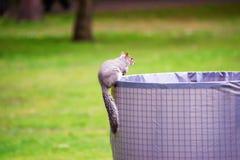 Eekhoorn in het park van Cardiff in Wales Stock Foto's