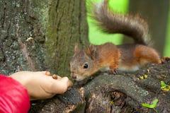 Eekhoorn het snuiven noten op de hand royalty-vrije stock afbeeldingen