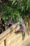 Eekhoorn het verbergen van gevaar onder een tak stock fotografie
