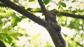 Eekhoorn hoog op boomtak in wind stock videobeelden