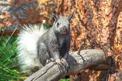 Eekhoorn - Kaibab Royalty-vrije Stock Afbeeldingen