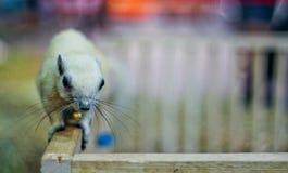 Eekhoorn Klein dier Royalty-vrije Stock Foto