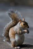 Eekhoorn in Londen Stock Afbeeldingen
