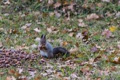 Eekhoorn met een eikel stock foto's