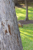Eekhoorn met een pecannoot Stock Afbeelding