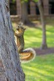 eekhoorn met een zwiepen metde staart Stock Afbeeldingen