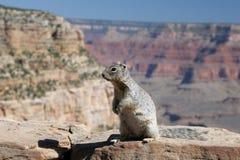 Eekhoorn met Grote Canion op de achtergrond. royalty-vrije stock fotografie