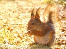 Eekhoorn met noten Stock Afbeeldingen