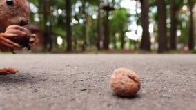 Eekhoorn met noten in het bos