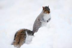 Eekhoorn met sneeuw in de winter Stock Foto's