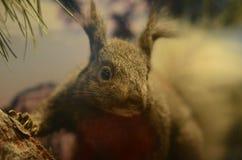 Eekhoorn in museum Stock Foto's