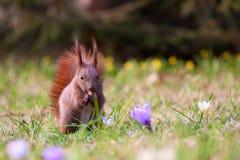 Eekhoorn onder bloemen stock afbeelding