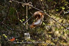 Eekhoorn ondersteboven Royalty-vrije Stock Fotografie