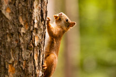Eekhoorn op boom stock afbeelding