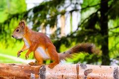 Eekhoorn op boom Royalty-vrije Stock Afbeeldingen