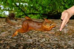 Eekhoorn op boom Royalty-vrije Stock Afbeelding