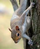 Eekhoorn op boom Stock Fotografie