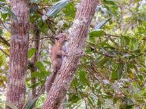 Eekhoorn op boom in Santa Helena, Colombia Royalty-vrije Stock Afbeeldingen
