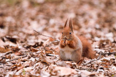Eekhoorn op de bladeren stock afbeeldingen