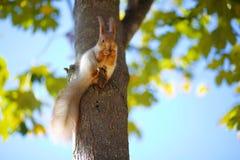 Eekhoorn op de boom Royalty-vrije Stock Afbeeldingen