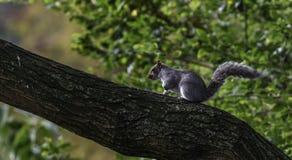 Eekhoorn op de boom Stock Afbeeldingen