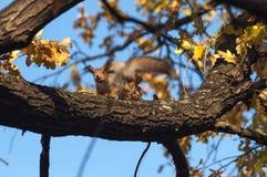 Eekhoorn op de boom Stock Foto's