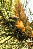 Eekhoorn op de boom met een buil in de tanden Stock Afbeelding