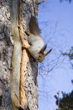 Eekhoorn op de boomstam van boom Stock Afbeelding