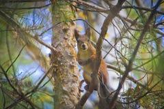 Eekhoorn op de pijnboom Stock Foto's