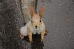 Eekhoorn op de regenachtige weg stock fotografie