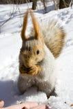 Eekhoorn op de sneeuw Stock Afbeeldingen