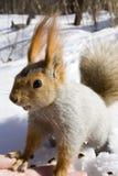 Eekhoorn op de sneeuw Stock Foto
