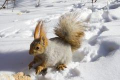 Eekhoorn op de sneeuw Stock Fotografie