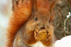 Eekhoorn op de sneeuw Royalty-vrije Stock Foto's