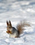 Eekhoorn op de sneeuw Royalty-vrije Stock Afbeelding