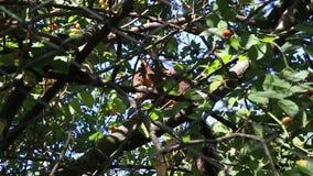 Eekhoorn op de tak stock videobeelden