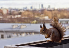 Eekhoorn op een balkon Royalty-vrije Stock Afbeeldingen