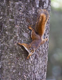 Eekhoorn op een boom Royalty-vrije Stock Afbeeldingen