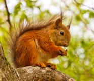 Eekhoorn op een boom Royalty-vrije Stock Afbeelding