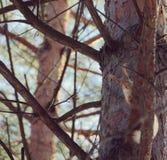 Eekhoorn op een Boom Royalty-vrije Stock Foto