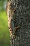 Eekhoorn op een Boom Stock Afbeelding